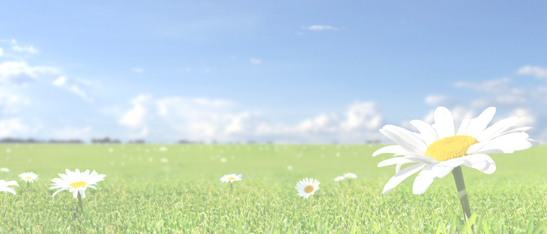 Beautiful White Flowers In Fields With Blue Sky Background Hd